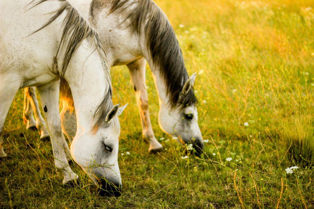 chevaux qui mange de l'herbe