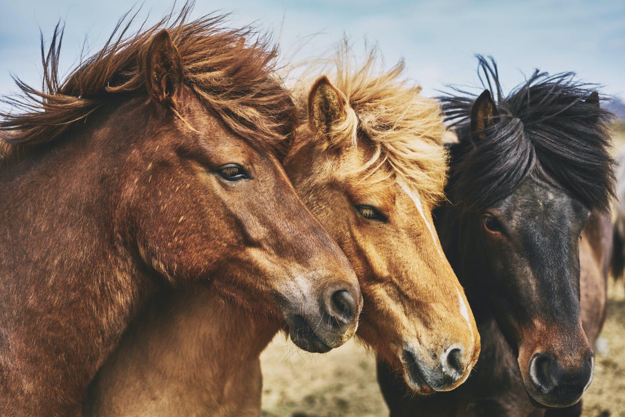trois poneys profils