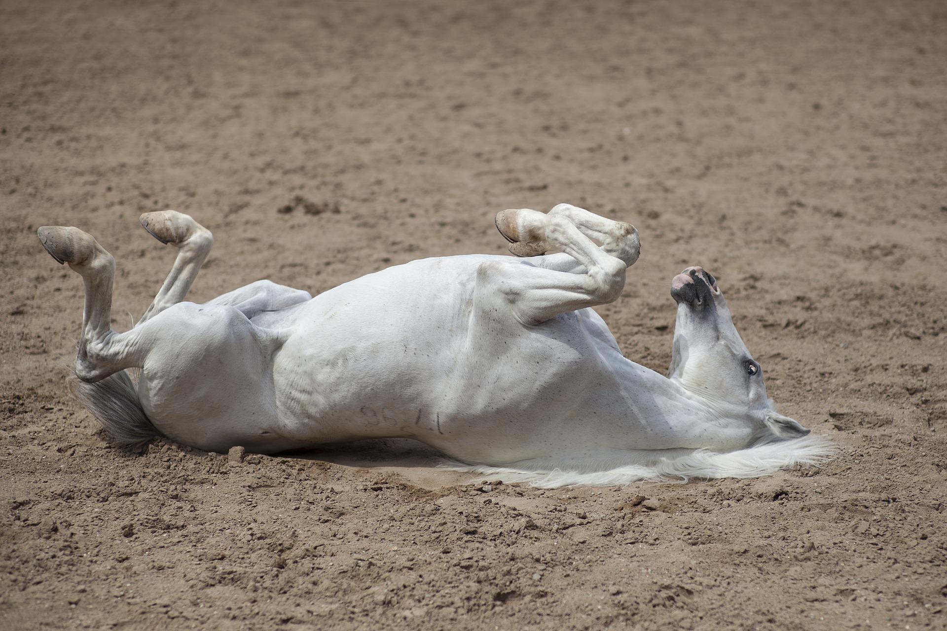 divertissement cheval blanc