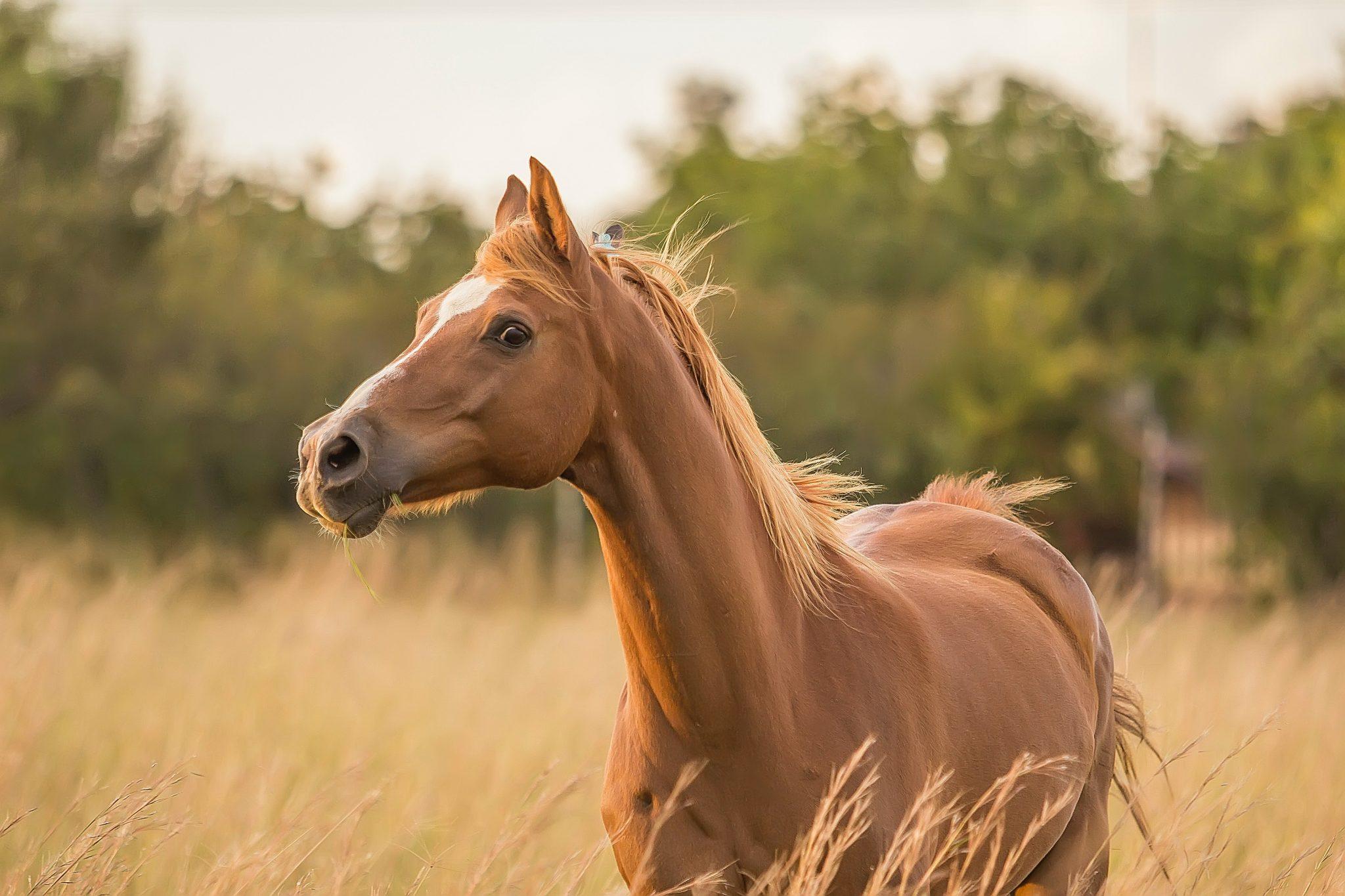photo cheval alezan portrait champs