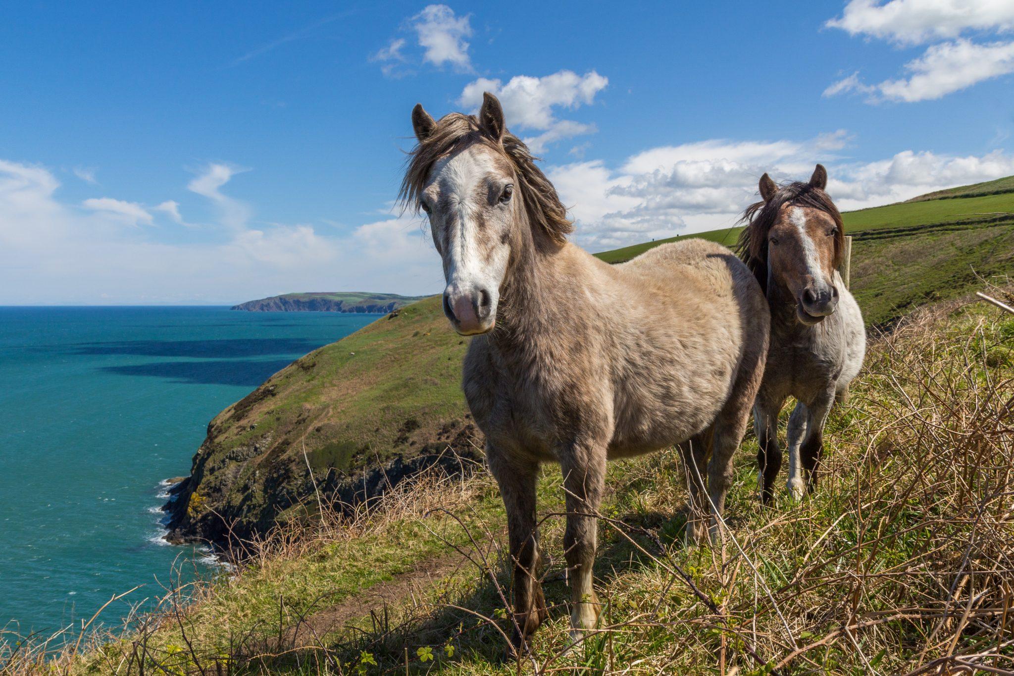 deux poney dans champs